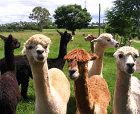 Banyandah Alpacas - New South Wales Tourism