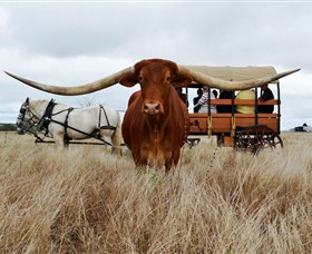 Texas Longhorn Wagon Tours and Safaris - New South Wales Tourism