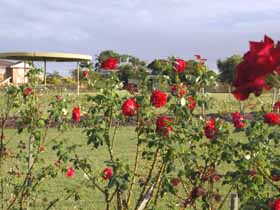 Elizabeth Park Rose Gardens - New South Wales Tourism