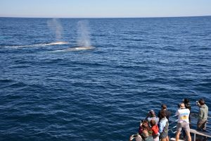 Blue Whale Perth Canyon Expedition - New South Wales Tourism