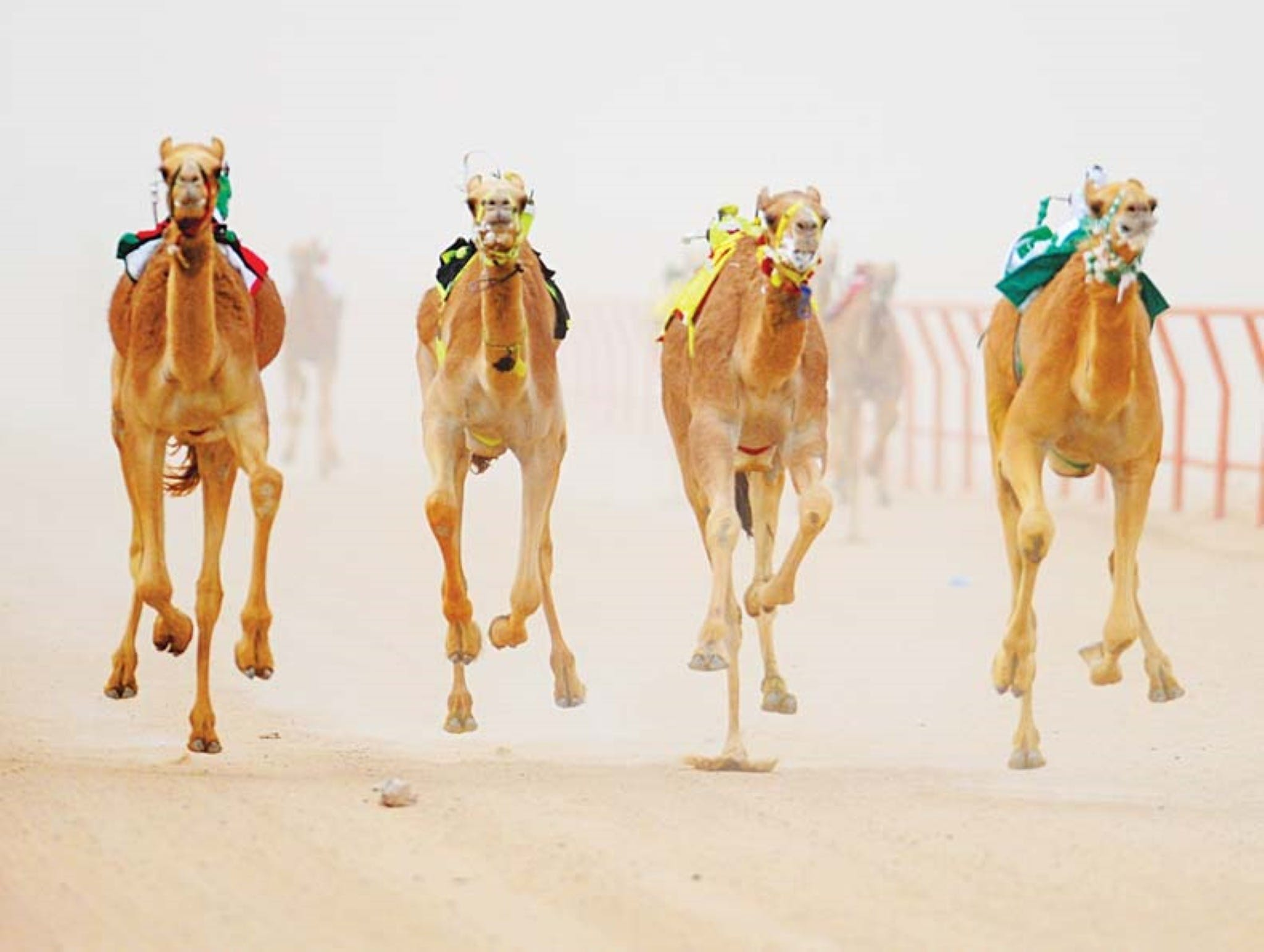 The Quirindi Camel Cup - New South Wales Tourism