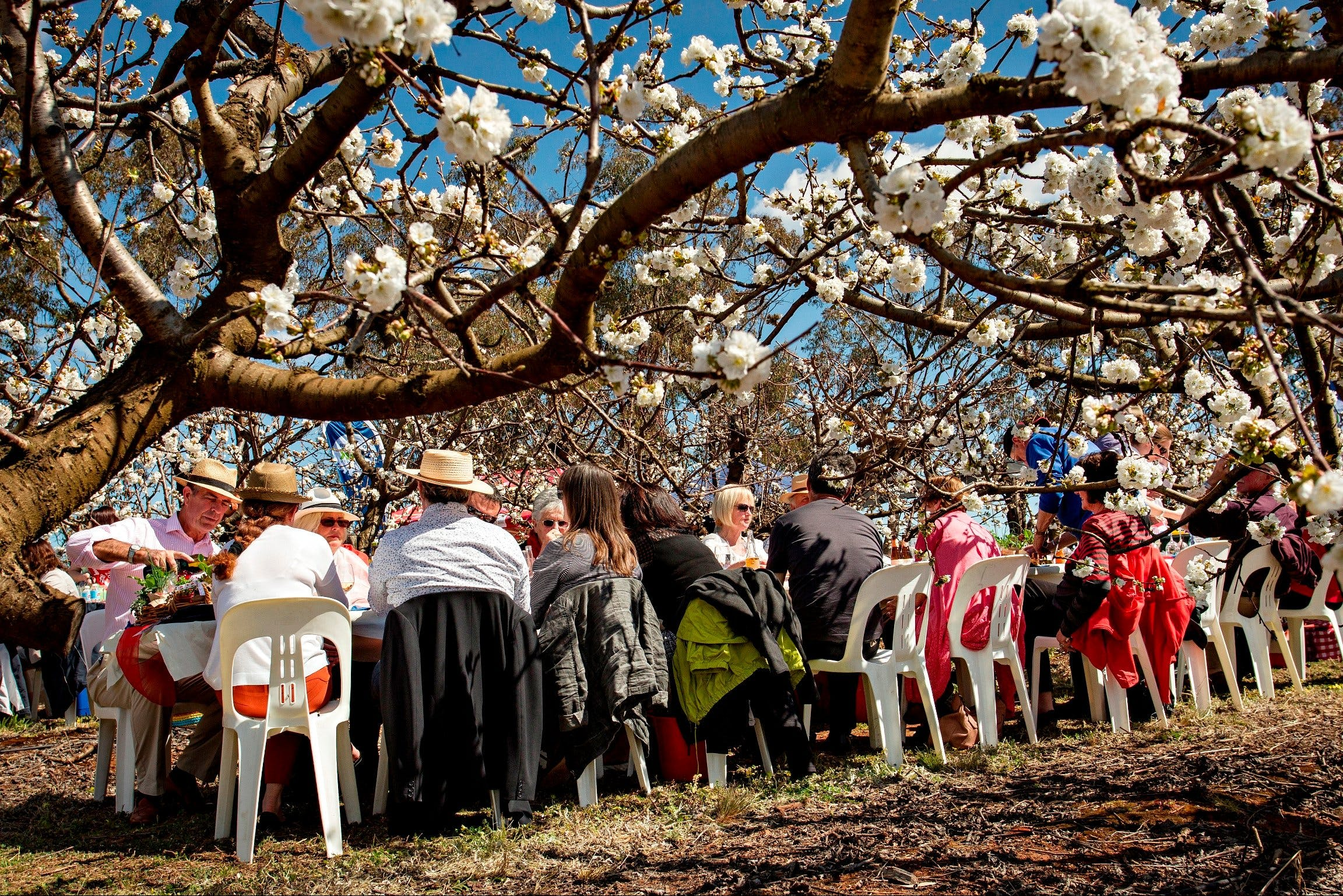 Young Cherry Blossom Long Lazy Lunch - New South Wales Tourism