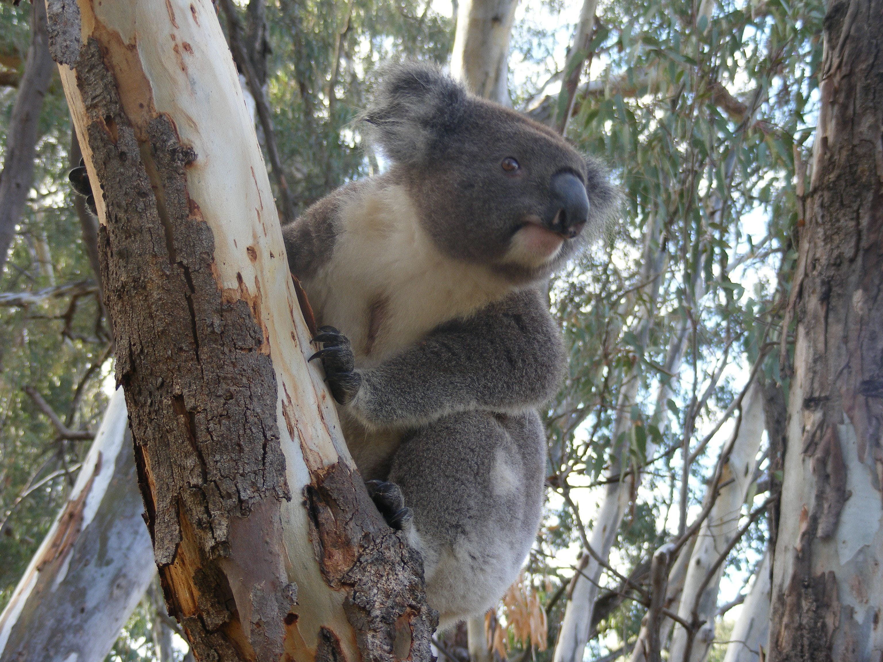 Annual Koala Count - New South Wales Tourism