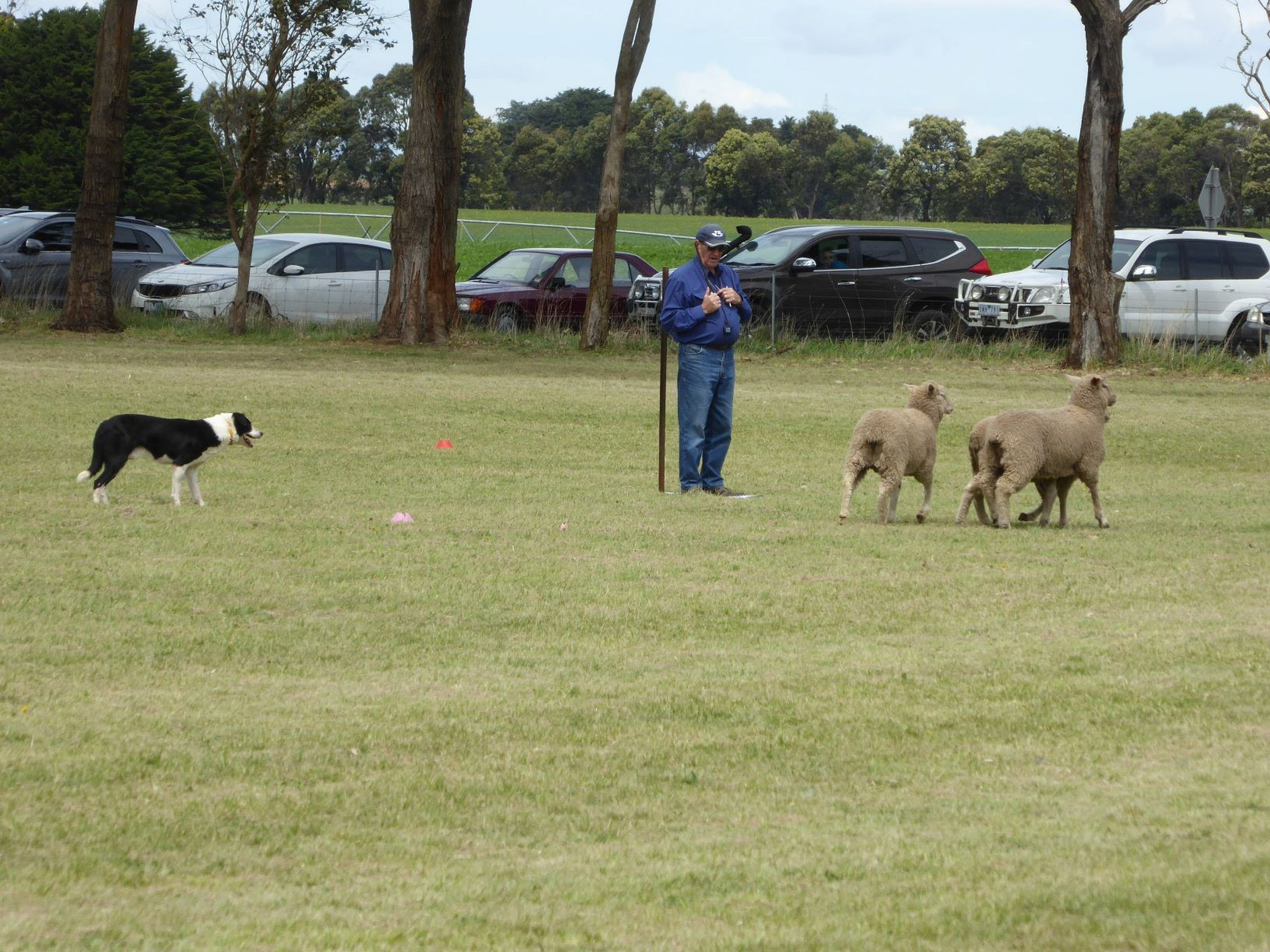 Dean Sheepdog Trials - Old Sniff Classic - New South Wales Tourism
