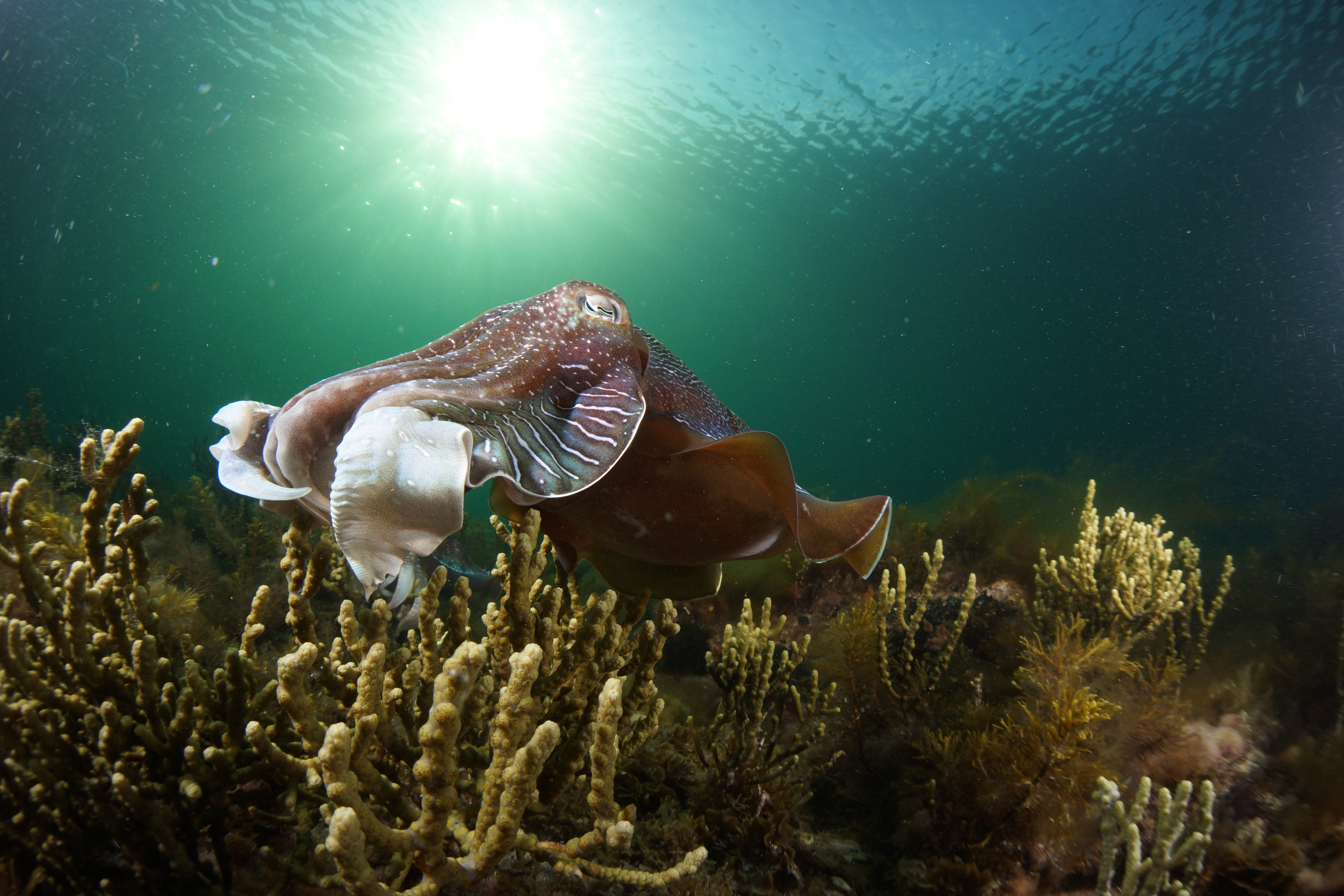 Cuttlefish Diving  Snorkeling EVERYDAY May -August - New South Wales Tourism