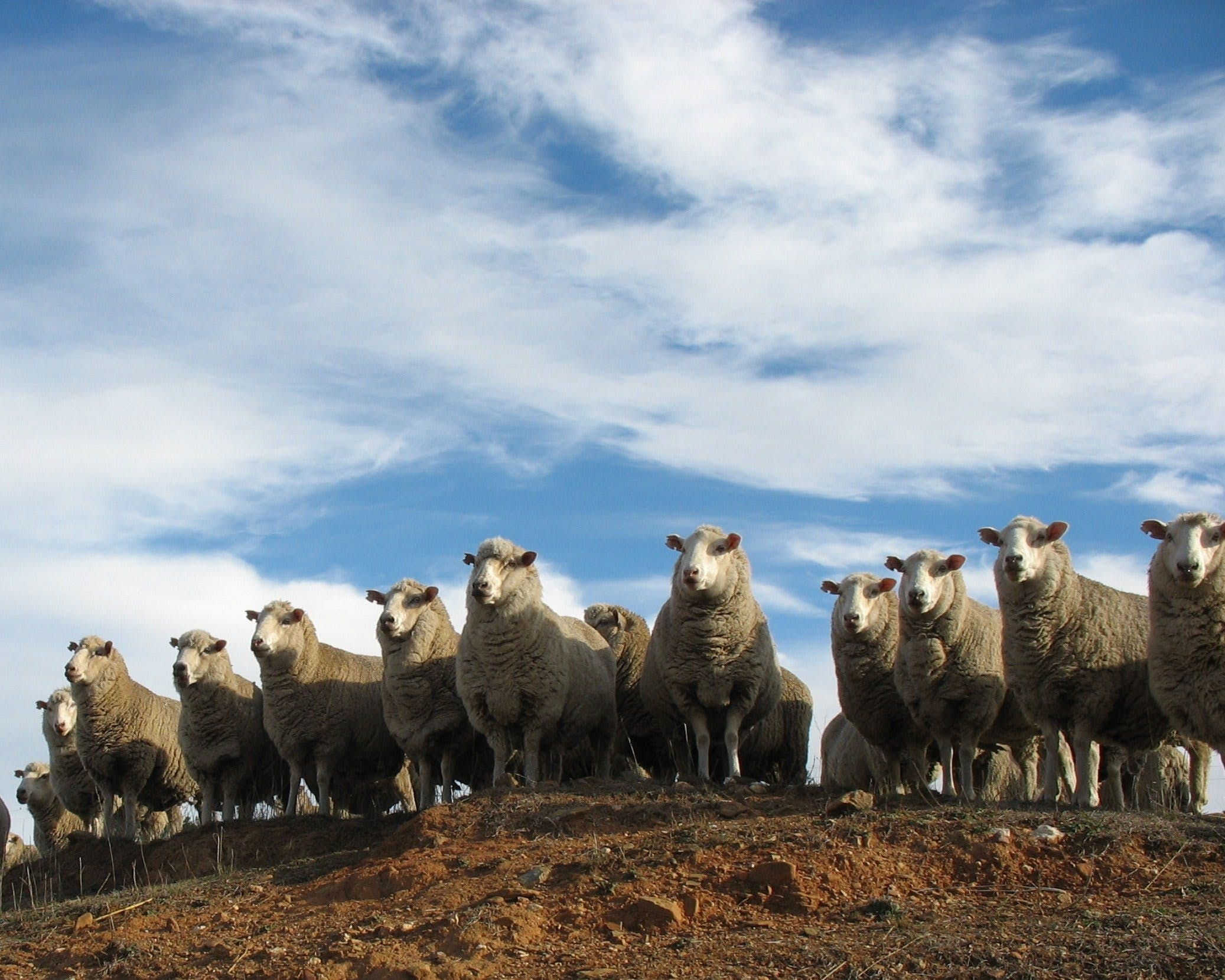 Annual Bredbo Sheep Dog Trials - New South Wales Tourism